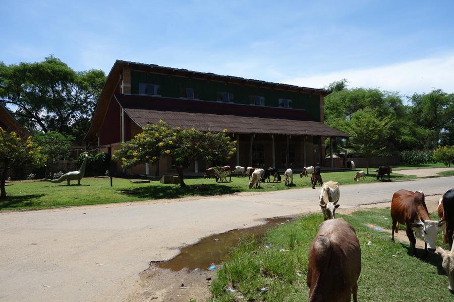 Die Kühe stehen vor dem Frühmenschen-Museum in Karonga. Das ist kein Bug, sondern ein Feature: Überall, wo es was zu essen gibt, stehen Kühe oder Ziegen rum.