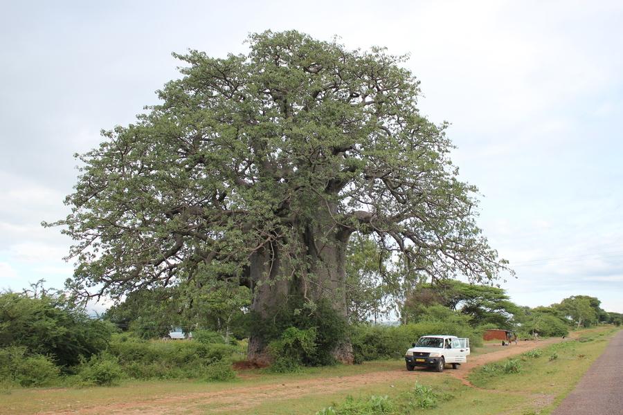 Ein riesiger, hunderte Jahre alter Baobab. Der Pajero davor für den Maßstab.