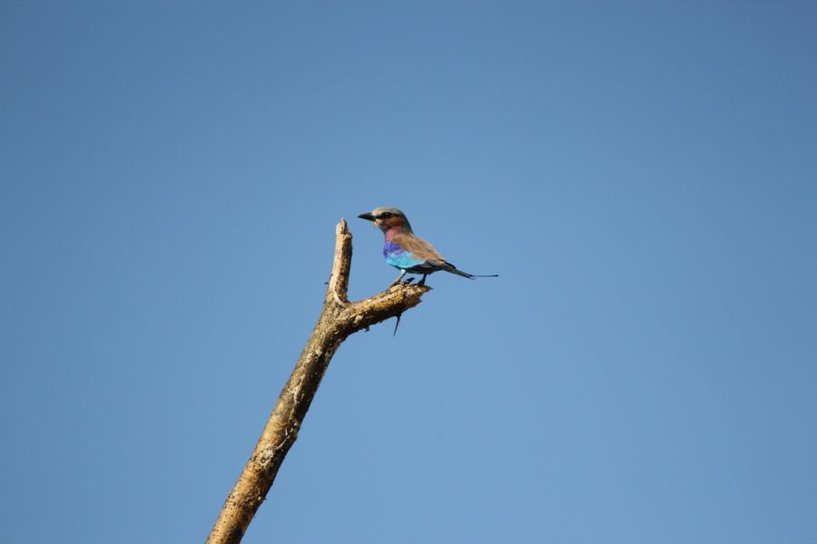 Symbolbild für die vielen Vögel. Hier, glaube ich, ein Kingfisher.